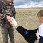 Feeding Hamburger Bill, our summer calf 2017.