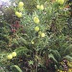 Balloon-like flowers in the garden