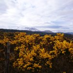 Gorse and snow!