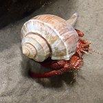 Huge Hermit Crab Fort Fisher Aquarim