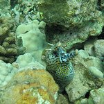Dragon Moray Eel