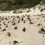 Boulders Beach penguin colony
