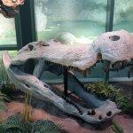 Croc skull from dinosaur area
