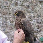 Falconry in the walled garden