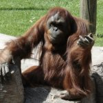 Los orangutanes, la especie más visitada del zoo... por su carisma, excelente capacidad de imita