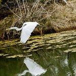 Chincoteague National Wildlife Refuge, great white egret