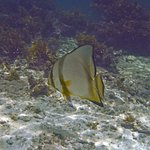 White batfish