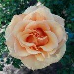 Rose Garden at Mesa Community College Photo