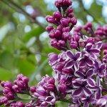 Hulda Klager Lilac Gardens