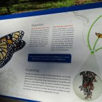 Monarch Butterfly Grove Foto