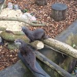 Otters waiting for breakfast