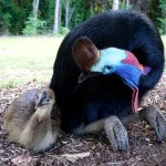 Cassowary and chick.