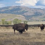 Bison Young and Mother