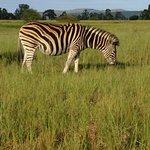 Zebra on the road in