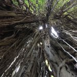 Looking up inside a 525-year old banyan tree