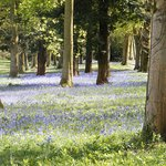 Bluebells on the approach