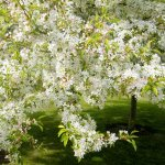 Spring blossom on the lawn