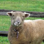 Meet our Southdown sheep in the pasture.
