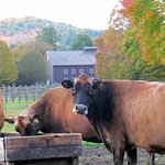 Our Jersey cows produce high protein milk used to make Billings Farm cheddar!