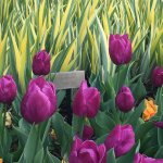 Spring Blooms April 2017