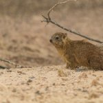 Rock Hyrax, apparently its closest relative is the elephant.