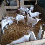 La Chèvre du Vrizon Earl
