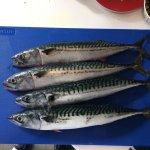 The freshest mackerel
