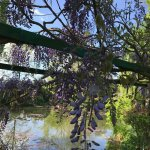 These wisteria are everywhere