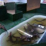 Young alligators.