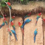 macaws eating clay, photo with cell phone using telescope