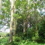 Rainbow Eucalyptus, on the Road to Hana. Mile post 7