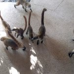 Coati's greeted me after leaving the Preferred Club one day.