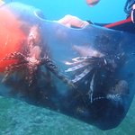 Lion fish dinner being collected