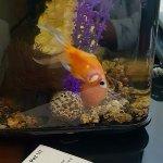 Un pez dorado para hacernos compañía
