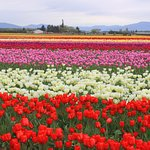 The Tulip Festival in April is fantastic!