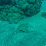 Little sting ray
