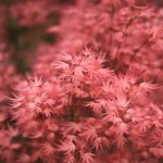 The acer