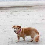 Honey enjoying the #1 dog-friendly beach in the country!
