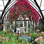 Bougainvillea in the conservatory at Longwood Gardens