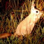 Tswalu Spring Hare