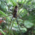 Female Golden Orb Spider - Epiphyte B&B