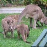 Kangaroos doing maintanence