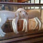Siamese twin lambs on display.