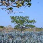 De agave azul. De basis van tequila.
