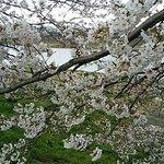 Foto de Shiroishigawa Embankment Hitome Sembonzakura