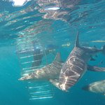 Shark cage diving on Durban's Aliwal Shoal