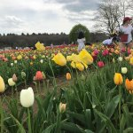 Wicked Tulips Flower Farm