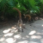 This a picture of part of a friendly family of coati's along walkway.