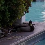 Duck enjoying the pool area