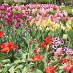 Tulips around Temple Square